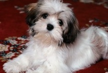Favorite Havanese Dogs / by Claire Loth