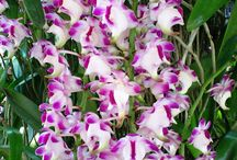 Aerides orchid