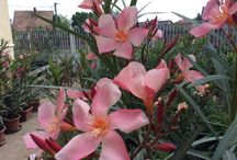 My garden Wirth my oleanders