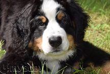 4mybody, Leonowo / Berneński Pies Pasterski