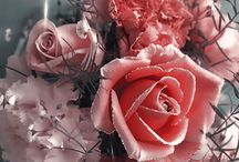 trandafiri...rose