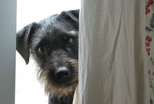 My Dog 'Pepper' ~ A Patterdale Terrier / All about my fabulous dog full name ~ Pepper Blackie Jackson