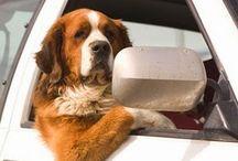 hondenopvang in huiselijke kring / Hondenopvang in huiselijke kring  - Kwispels Vakantie bemiddelt voor tijdelijke opvanggezinnen en opvanggezinnen voor vakanties/dagopvang. Vaste tarieven en steun aan zgn stichtinggezinnen die asielhonden tijdelijk willen opvangen. www.kwispelsvakantie.nl/gastouder worden