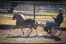 mini horse carting