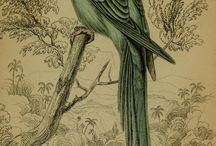 "Edward Lear - from ""Natural History of Parrots"" (1836)"