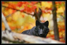 Wolves / by Shawna King Beshirs