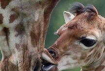 Жирафы / Природа, животные, жирафы, красивые и забавные фото, картинки, анимация, обои, видео, интересные факты