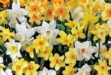 Fall-Planted Flower Bulbs - Bloom in Spring / Our bulbs are chosen for their ability to naturalize, which means they will multiply and spread, increasing your enjoyment for years to come. They are virtually care-free once established. Plant once, enjoy the blooms every spring!