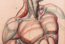 konstruktiva anatomia