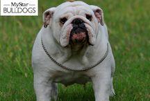 bulldog inglese Nicki / cani di razza bulldog inglese