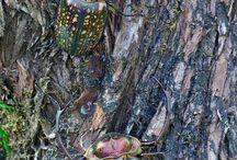 Cameo beetle