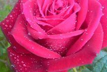 Ροζ Τριαντάφυλλα!!!♥♥♥
