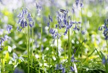 Bluebells / Places to see beautiful carpets of English Bluebells
