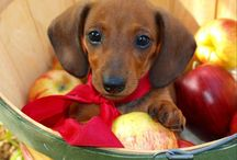 Doxies / by Lesa Weber