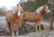 Haflingers en IJslanders / paarden/pony's
