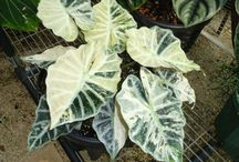 alocasia,colocasia and calladium