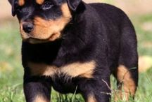 Rottie / Dog