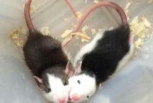 Les ratounes