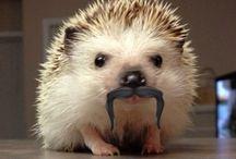 Animals - Hedgehogs