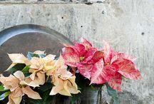 &Poinsettia