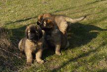 Leonberger cucciolo / Gianduiotto