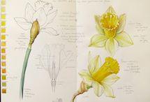 Daffodil watercolour