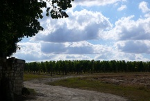 Our Cabernet Franc grapes and vines / Our Cabernet Franc, around the vineyard #Loire Valley