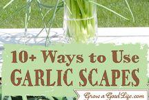 Garlic & Garlic Scapes