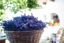 Lavendel - lilla - rosa