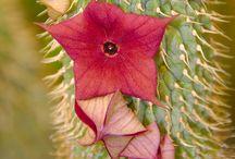 Kaktuszok pozsgások