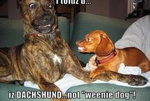Funny Doxies / by Furever Dachshund