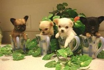 Chihuahua, dog of my heart 2.