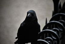 Why is a Raven Like a Writing Desk? / Crow | Raven | Corbeau | Corvid | Black birds
