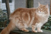 Maine Coon - Cream Tabby Blotched / #MaineCoon #Cream #Tabby #Blotched #Cats