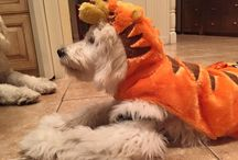 2015 Costume Pictures Moss Creek Goldendoodles / These are the pictures from our 2015 Costume Contest!  :)