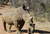 Volunteer at Rhino Breeding Project / Volunteer at a Rhino Breeding Program   Rhinos have been driven to near extinction.  Man's relentless pursuit of the animal's unique horn poses the biggest threat to rhinos today. Poaching of the African rhino is out of control with some predicting total extinction in less than a decade at the current rate of extermination.