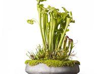 Masozrave rastliny