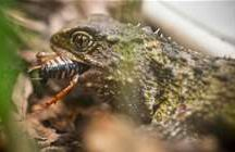 NZ Reptiles and Frogs