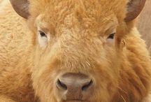 I love Bisons
