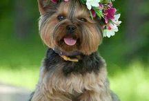Yorkshire Terrier ❤ / Eu amo essa raça  Tenho duas bebês lindas!!!