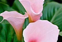 calla / kwiaty natura & art
