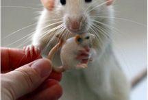 rat and rat