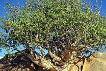 Myrrh (Commiphora myrrha) / All things related to the medicinal plant (tree) Myrrh.