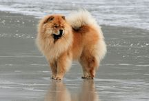 I love Chow Chows