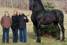 dyr heste