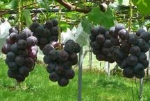 Warm glass grapes