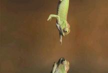 grumpy chameleons