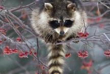 racoon <3