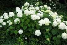 Hydrangeas_arborescens