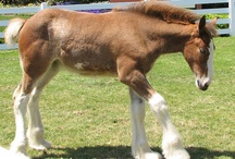 Beautiful Clydesdale Horses<3 / by Cory Bird
